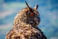 Картинка сова, птица, перья, клюв, филин