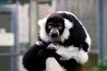 Картинка фон, столб, размытость, примат, млекопитающий, чёрно-белый Лемур вари