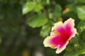 Картинка цветок, макро, Гибискус, Two Toned Hibiscus