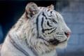 Картинка морда, портрет, хищник, профиль, белый тигр, дикая кошка