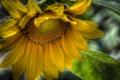 Картинка цветок, желтый, HDR, подсолнух