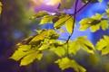 Картинка листья, свет, ветки, природа, light, nature, leaves