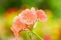 Картинка цветы, природа, растение, лепестки