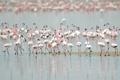 Картинка птицы, природа, фламинго
