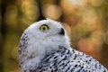 Картинка nature, wildlife, Snowy Owl, fauna