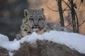Картинка зима, морда, хищник, ирбис, снежный барс, детеныш, дикая кошка