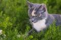 Картинка трава, глаза, кот, цветы