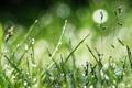 Картинка зелень, трава, капли, макро, роса, фото, боке