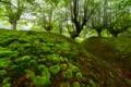 Картинка лес, деревья, мох, овраг, Испания, бук, Бискайя
