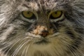 Картинка морда, портрет, хищник, дикая кошка, манул, палласов кот
