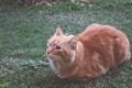 Картинка рыжый, кот, трава