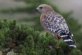Картинка птица, ветка, ястреб, Красноплечий канюк
