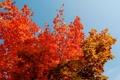 Картинка багрянец, листья, осень, крона, деревья, небо