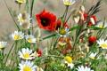 Картинка поле, трава, мак, ромашка, луг