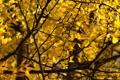 Картинка макро, деревья, ветки, листики, жёлтая листва