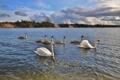 Картинка небо, пейзаж, птицы, озеро, пруд, лебеди