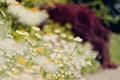 Картинка лето, макро, цветы, природа, ромашки, размытость, боке