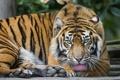 Картинка язык, кошка, тигр, ©Tambako The Jaguar, суматранский