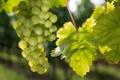 Картинка природа, виноград, виноградник, кусты, nature, bushes, vines