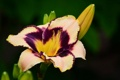 Картинка цветок, лилия, бело-сиреневая