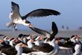 Картинка птицы, природа, фон, Black Skimmers
