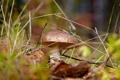 Картинка осень, лес, природа, грибы, мухомор
