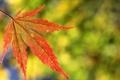 Картинка осень, макро, лист, клен, резной