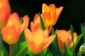 Картинка желтые, весна, тюльпаны, макро, цветы