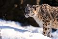 Картинка ирбис, стоит, смотрит, морда, snow leopard, снежный барс, снег