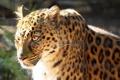 Картинка фотошоп, хищник, леопард, профиль