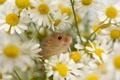 Картинка цветы, ромашки, Мышь-малютка