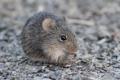 Картинка мышь, мышка, серая, грызун, пушистая