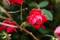 Картинка цветок, роза, куст