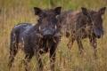 Картинка pigs, Warthog, Phacochoerus africanus