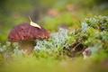 Картинка осень, лес, лист, грибборовик
