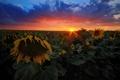 Картинка поле, лето, солнце, лучи, подсолнухи, закат, вечер