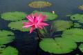 Картинка листья, вода, кувшинка, нимфея, водяная лилия