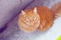 Картинка кот, рыжий, шерсть, взгляд