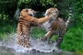Картинка брызги, хищники, драка, пара, дикие кошки, тигры, водоем