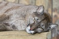 Картинка кошка, взгляд, пума, горный лев, кугуар, ©Tambako The Jaguar