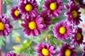 Картинка природа, Pink Daisy, цветы