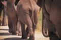 Картинка животные, африка, слоны, elephants, большие животные, фото слонов