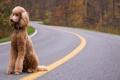 Картинка дорога, собака, пудель