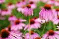 Картинка поле, цветы, ромашки, розовые, эхинацея