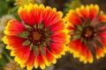 Картинка цветы, природа, растение, лепестки, сад, луг, гайлардия