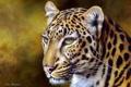 Картинка живопись, леопарды, Kim Thompson