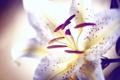Картинка цветок, лепестки, лилия, тычинки, макро, пыльца