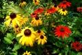 Картинка листья, природа, лепестки, сад, эхинацея