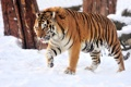 Картинка кошка, снег, тигр, амурский