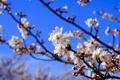 Картинка небо, цветы, ветка, весна, сад